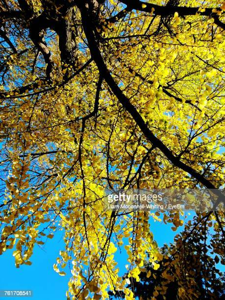 low angle view of yellow flower tree - mcconnell stock pictures, royalty-free photos & images