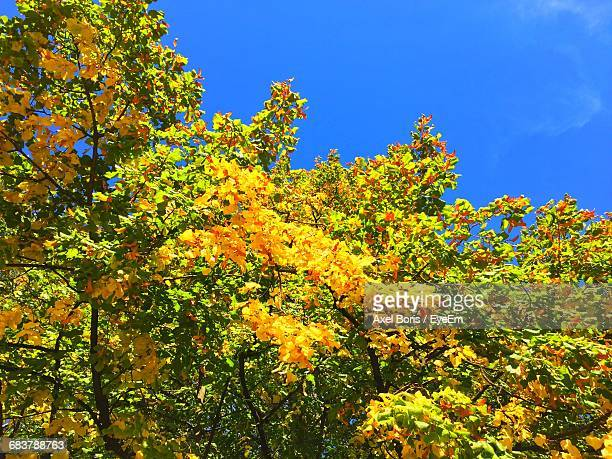 low angle view of yellow flowering tree against clear blue sky - boris stock photos and pictures