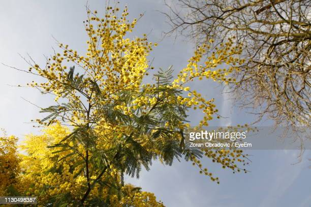 Low Angle View Of Yellow Flowering Tree Against Sky