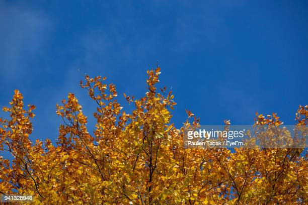 low angle view of yellow flowers against blue sky - paulien tabak foto e immagini stock