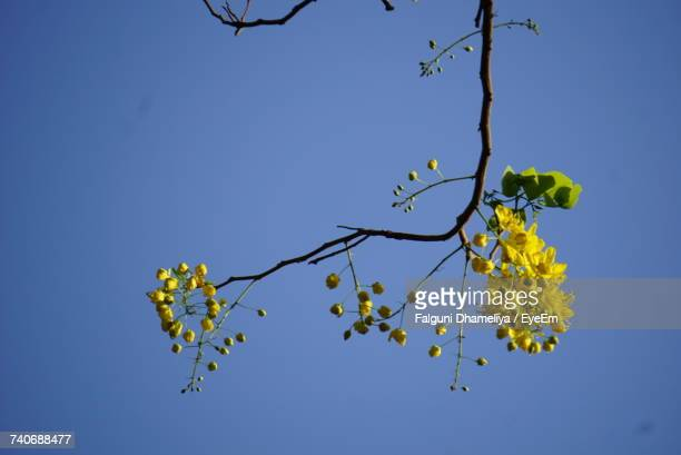 low angle view of yellow flowers against clear blue sky - falguni stock pictures, royalty-free photos & images