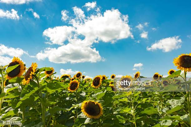 Low Angle View Of Yellow Flowers Growing In Field