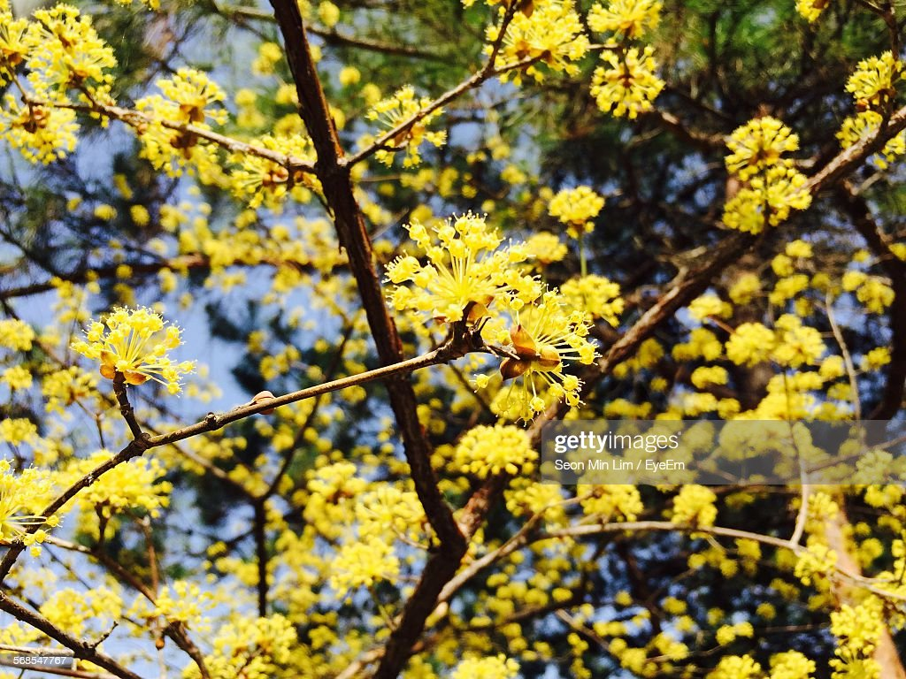 Low Angle View Of Yellow Flowers Growing On Tree : Stock Photo