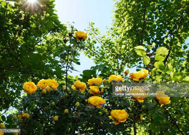 low angle view of yellow flowers - yellow roses stock photos and pictures