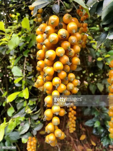 Low Angle View Of Yellow Fruits Hanging On Tree
