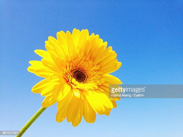 Low Angle View Of Yellow Gerbera Daisy Against Clear Blue Sky