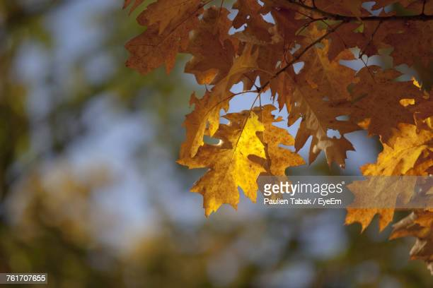 low angle view of yellow maple tree - paulien tabak stock pictures, royalty-free photos & images
