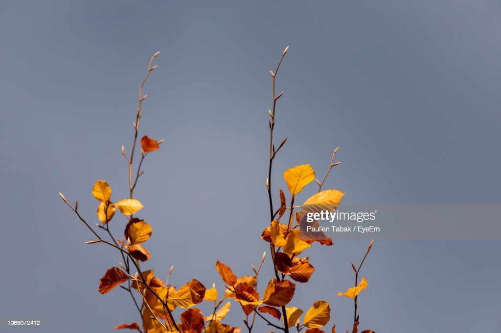 Low Angle View Of Yellow Plant Against Clear Blue Sky : Stockfoto