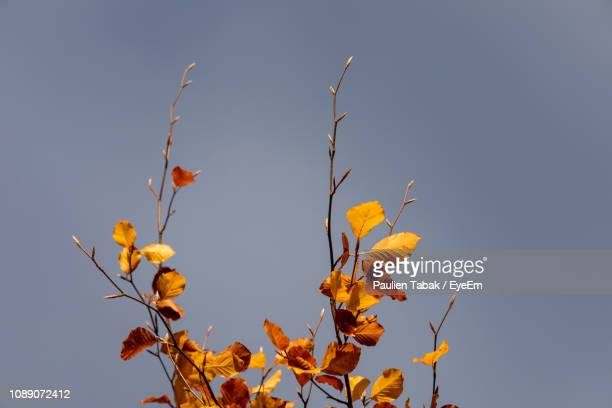 Low Angle View Of Yellow Plant Against Clear Blue Sky