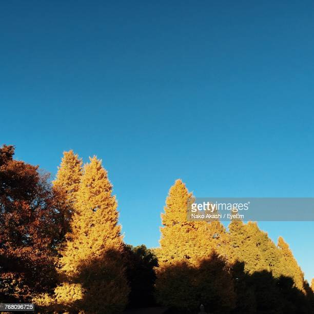 Low Angle View Of Yellow Trees Against Blue Sky