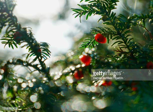 low angle view of yew tree - tetbury stock pictures, royalty-free photos & images
