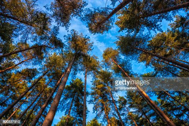 Low Angle View Pine Trees And Blue Sky