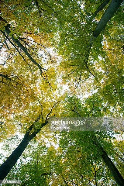 Low angle view to beech trees with autumn foliage
