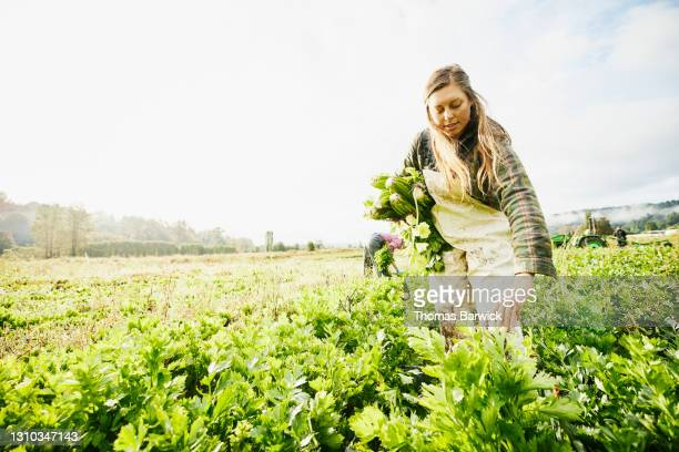 low angle wide shot of female framer harvesting organic celery on fall morning - washington state stock pictures, royalty-free photos & images