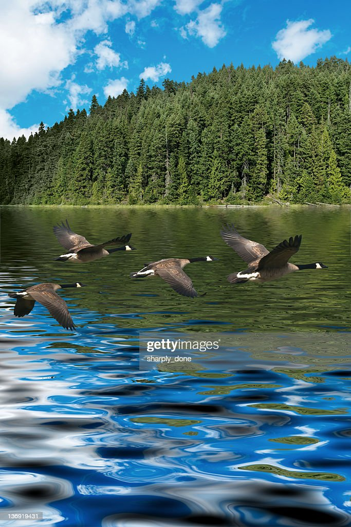 XXXL low flying canada geese
