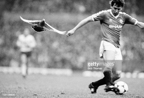A low flying pigeon in pursuit of Manchester United captain Bryan Robson during the First Division match between Manchester and Liverpool at Old...