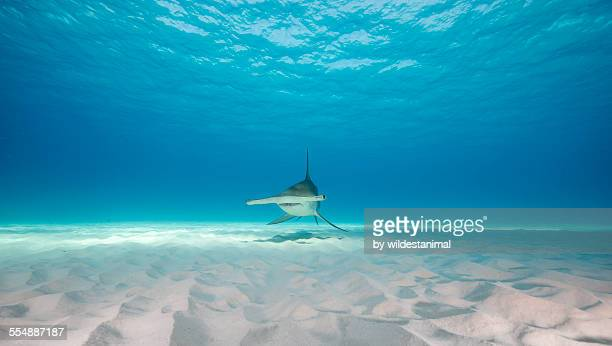 low glider - hammerhead shark stock photos and pictures