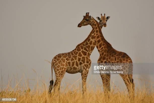 Low Intensity Giraffe Necking.
