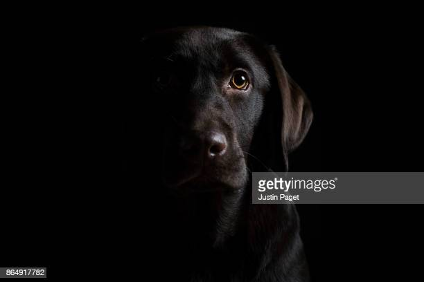 low key portrait of chocolate labrador puppy - animal stage stock photos and pictures