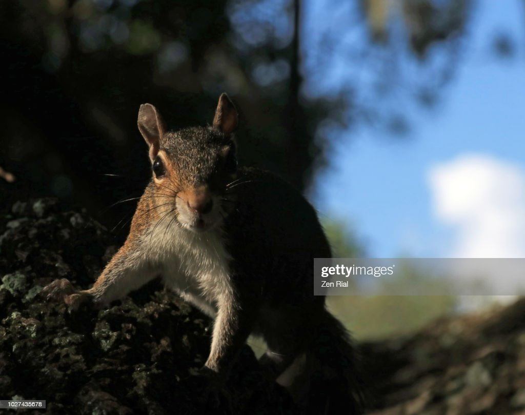 Low key shot of a gray squirrel on a tree with sky in the background : Stock Photo