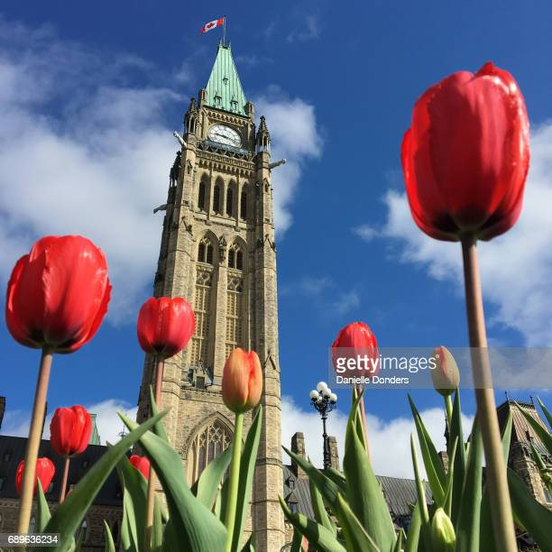 Low perspectivce of red tulips in front of the Peace Tower and Parliament