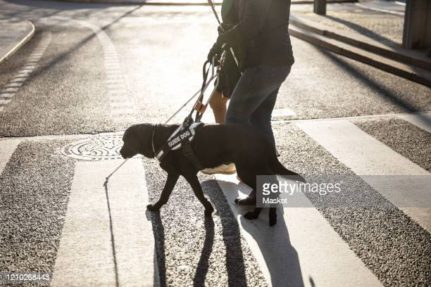 low section of blind woman and friend crossing road with guide dog in city - 盲導犬 ストックフォトと画像