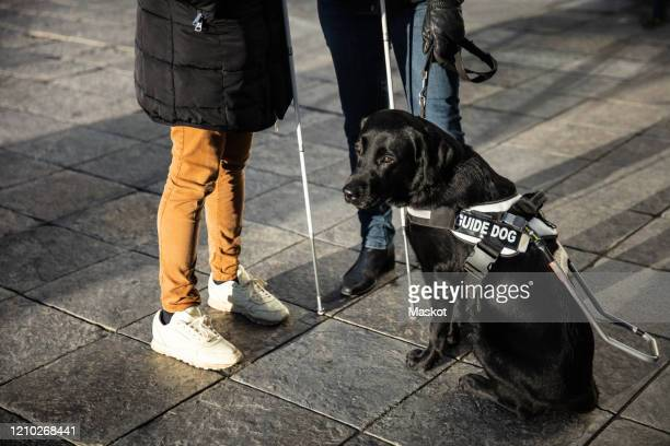low section of blind women standing on sidewalk with guide dog in city - 盲導犬 ストックフォトと画像