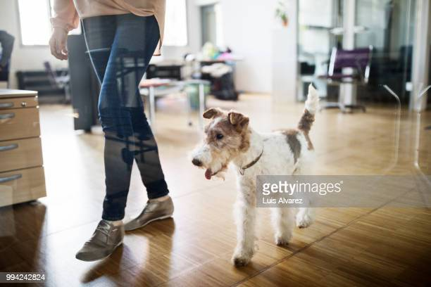 low section of businesswoman walking with dog - brown shoe stock pictures, royalty-free photos & images