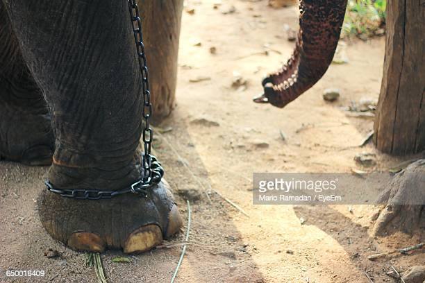 Low Section Of Elephant Tied Up With Chain