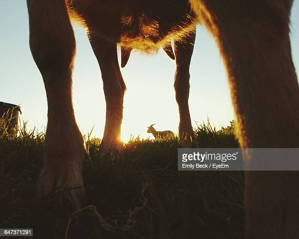 Low Section Of Goat On Grass Against Sky During Sunset
