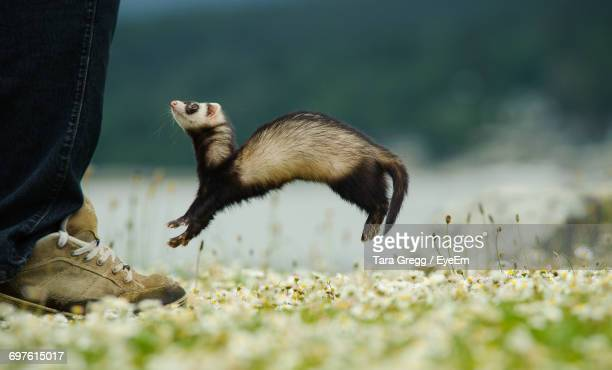 Low Section Of Man And Jumping Ferret