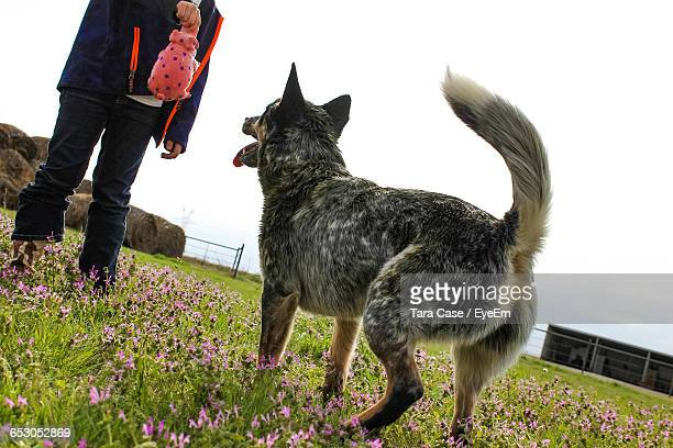 low section of man holding toy while standing by playful australian cattle dog on field against clear sky - australian cattle dog stock photos and pictures