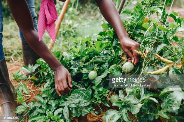 low section of man picking vegetables - fruit farm stock photos and pictures