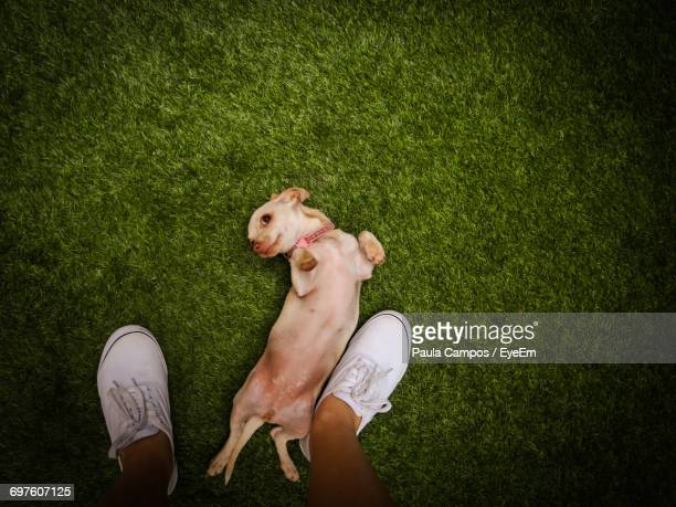 Low Section Of Man Standing By Chihuahua On Field