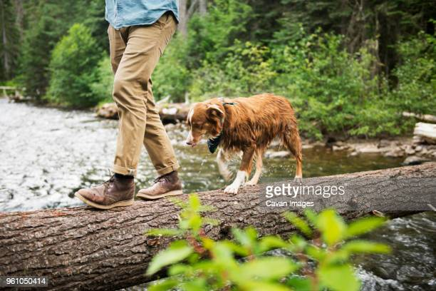 low section of man walking with dog on fallen tree over river - fallen tree stock pictures, royalty-free photos & images