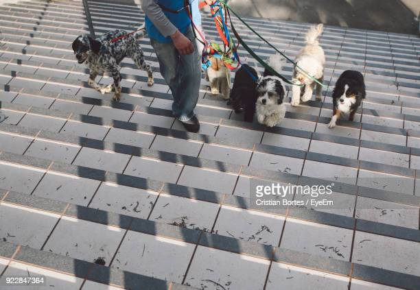 low section of man walking with dogs at steps - medium group of animals stock pictures, royalty-free photos & images