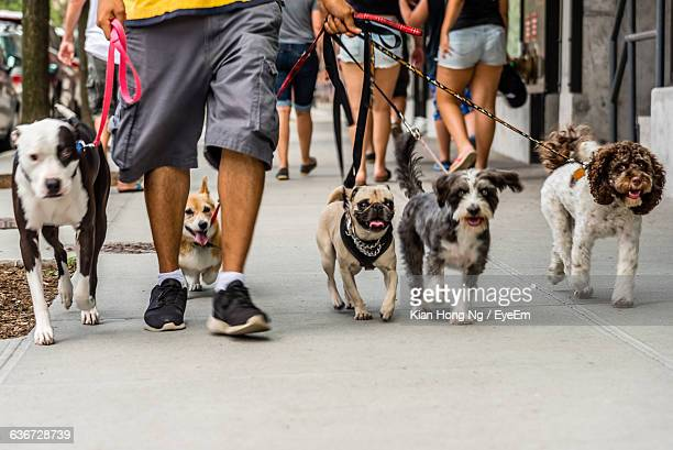 low section of man walking with dogs on street - cinq animaux photos et images de collection