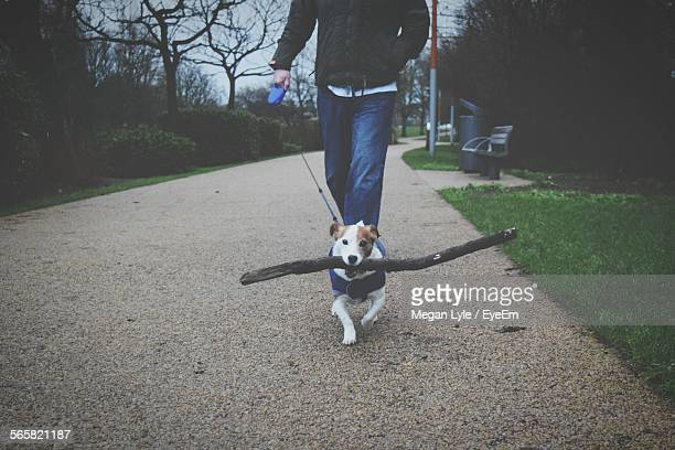 Low Section Of Man Walking With Jack Russell Terrier On Footpath In Park