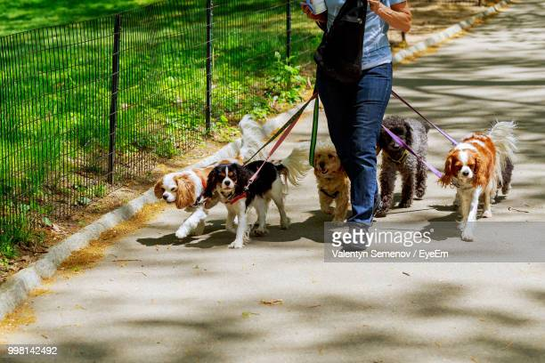 low section of man with dogs walking on footpath - 数匹の動物 ストックフォトと画像