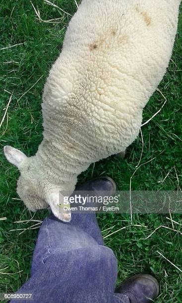 Low Section Of Man With Sheep Grazing On Grass