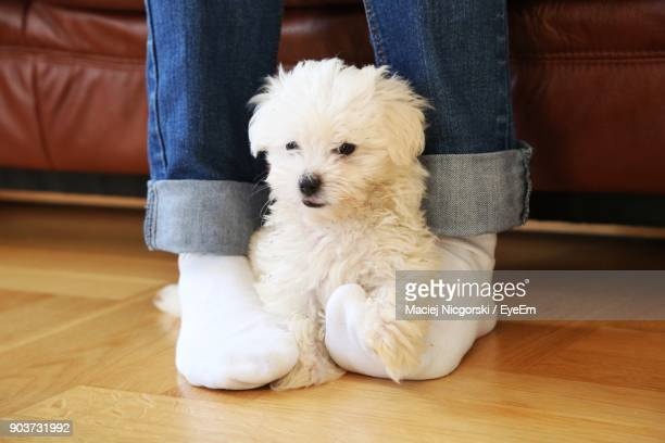 low section of man with west highland white terrier at home - hairy legs stock photos and pictures