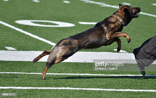 low section of owner with police dog on field during training - police dog stock photos and pictures