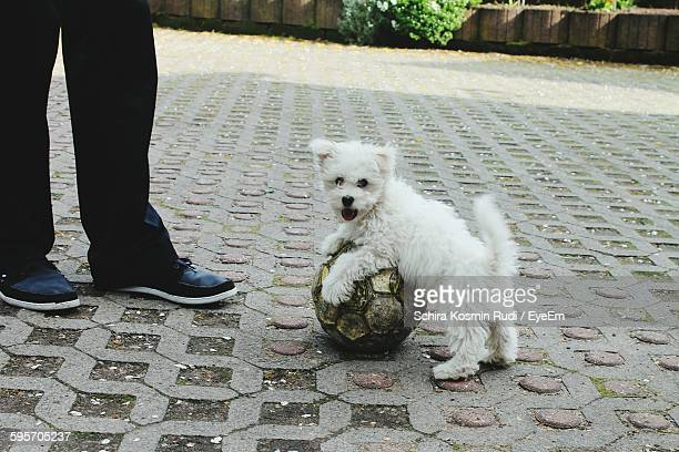 Low Section Of Owner With West Highland White Terrier And Ball