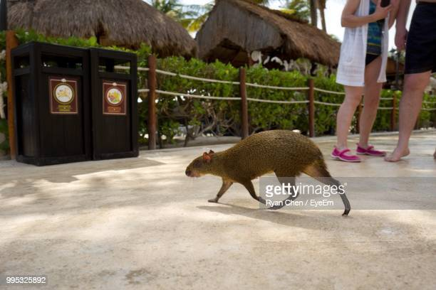 low section of people standing by capybara - capybara stock pictures, royalty-free photos & images
