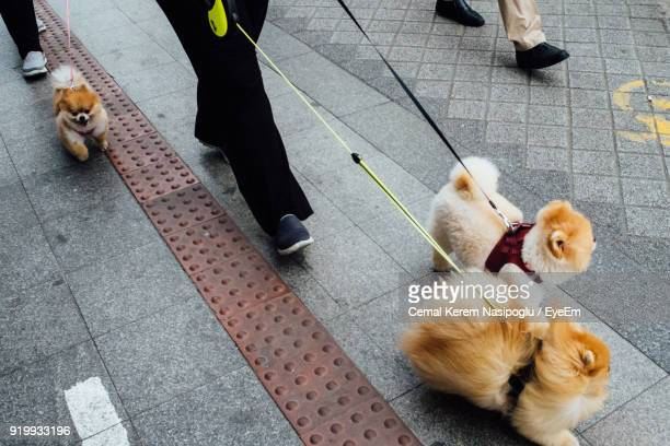 low section of people walking with dogs on street - volpino di pomerania foto e immagini stock
