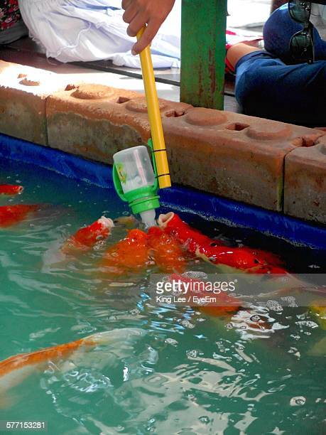 Low Section Of Person Feeding Koi Carps In Pond