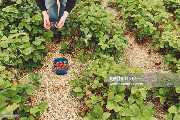 low section of person harvesting strawberries on farm - bortes foto e immagini stock