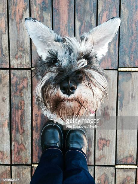 Low Section Of Person Standing By Miniature Schnauzer On Wooden Floor