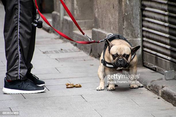 low section of person standing by pug pooping on footpath - excremento fotografías e imágenes de stock