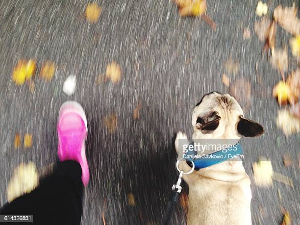 Low Section Of Person Walking With Pug On Road